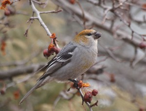 Pine Grosbeak 12/2/2012