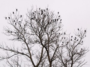 Red-winged Blackbirds 10/25/11