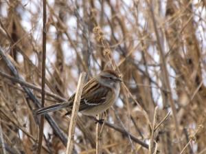 American Tree Sparrow 1/4/12