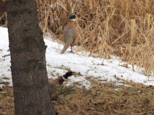Ring-Necked Pheasant 2/3/12