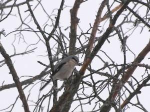 Northern Shrike  2/1//12