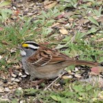 White-throated Sparrow 4/29/12
