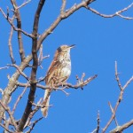 Brown Thrasher 4/23/12