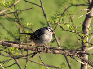 White-crowned Sparrow 5/9/12