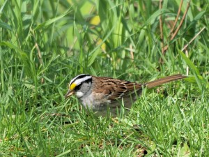 White-throated Sparrow 5/9/12