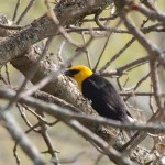 Yellow-headed Blackbird 5/1/12
