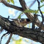 Bay-breasted Warbler 5/12/12