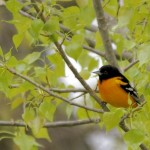 Baltimore Oriole 5/4/12