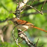 Brown Thrasher 5/20/12