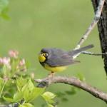 Canada Warbler 5/11/12