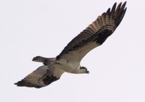 Osprey 5/18/12