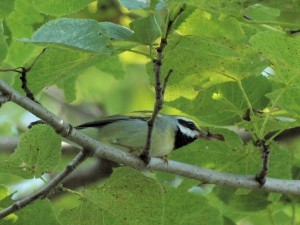 Golden-winged Warbler 7/28/12