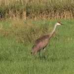 Sandhill Crane 7/28/12