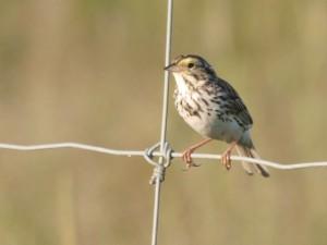Savannah Sparrow 6/30/12