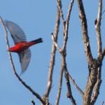 Scarlet Tanager 7/7/12