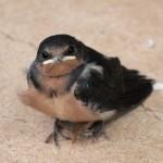 Barns Swallow 8/14/12