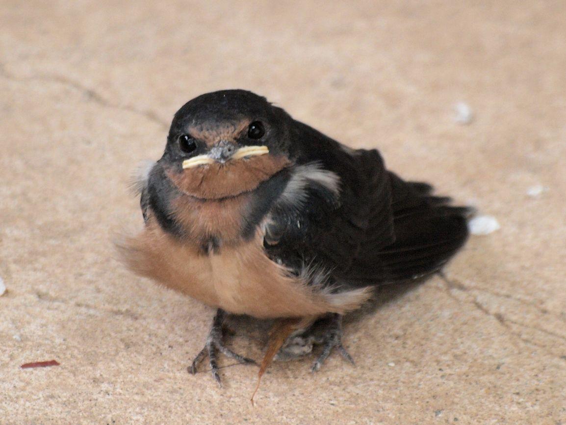 Baby Barn Swallow 108