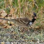Harris's Sparrow 9/28/12
