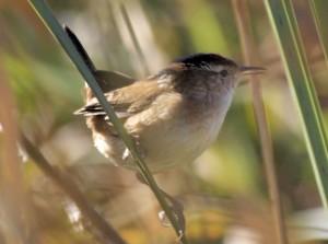 Marsh Wren 9/23/2012