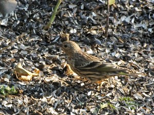 Pine Siskin 9/1/2012