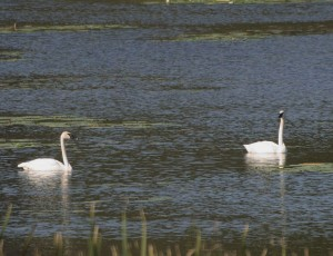 Trumpeter Swans on a local lake  9/1/12