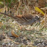 White-throated Sparrow 9/28/12
