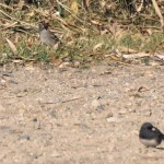 White-crowned Sparrow in a group of Juncos