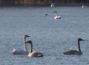 Grebe among the Swans 11/16/12