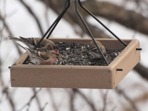 Common Redpolls 11/28/12