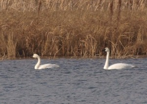 Tundra and Trumpeter Swan