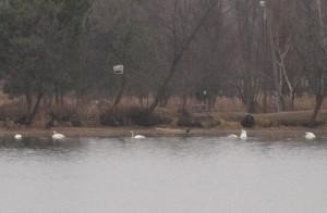 Trumpeter Swan group 10/5/12