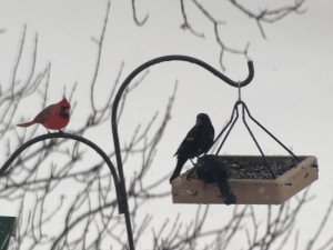 Cardinal and Red-winged Blackbird 12/15/12