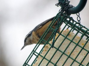 Red-breasted Nuthatch 12/8/2012