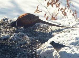 Ring-necked Pheasant at the feeder
