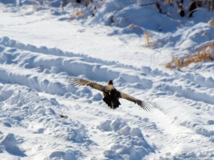 Pheasant fleeing 12/25/2012