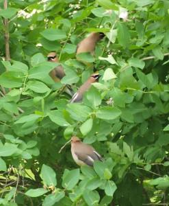Cedar Waxwings in the leaves 5/19/12