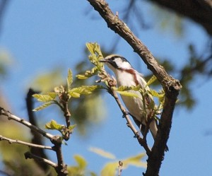 Chestnut-sided Warbler 5/1212