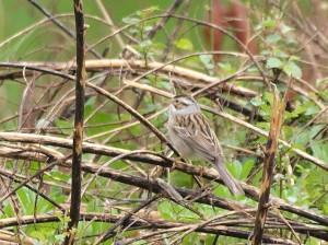 Clay-colored Sparrow 5/1/12