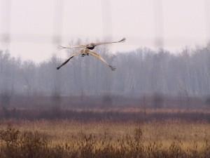 Sandhill Cranes 3/21/12