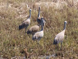 Sandhill Cranes 4/11/12