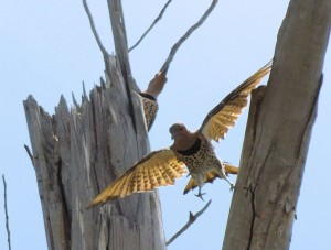 Flickers 5/2/2012 taken at Crow Wing State Park