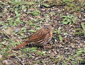 Fox Sparrow 3/28/12