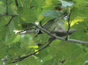 Golded-winged Warbler 7/28/12