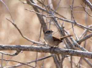 Lark Sparrow 4/25/12