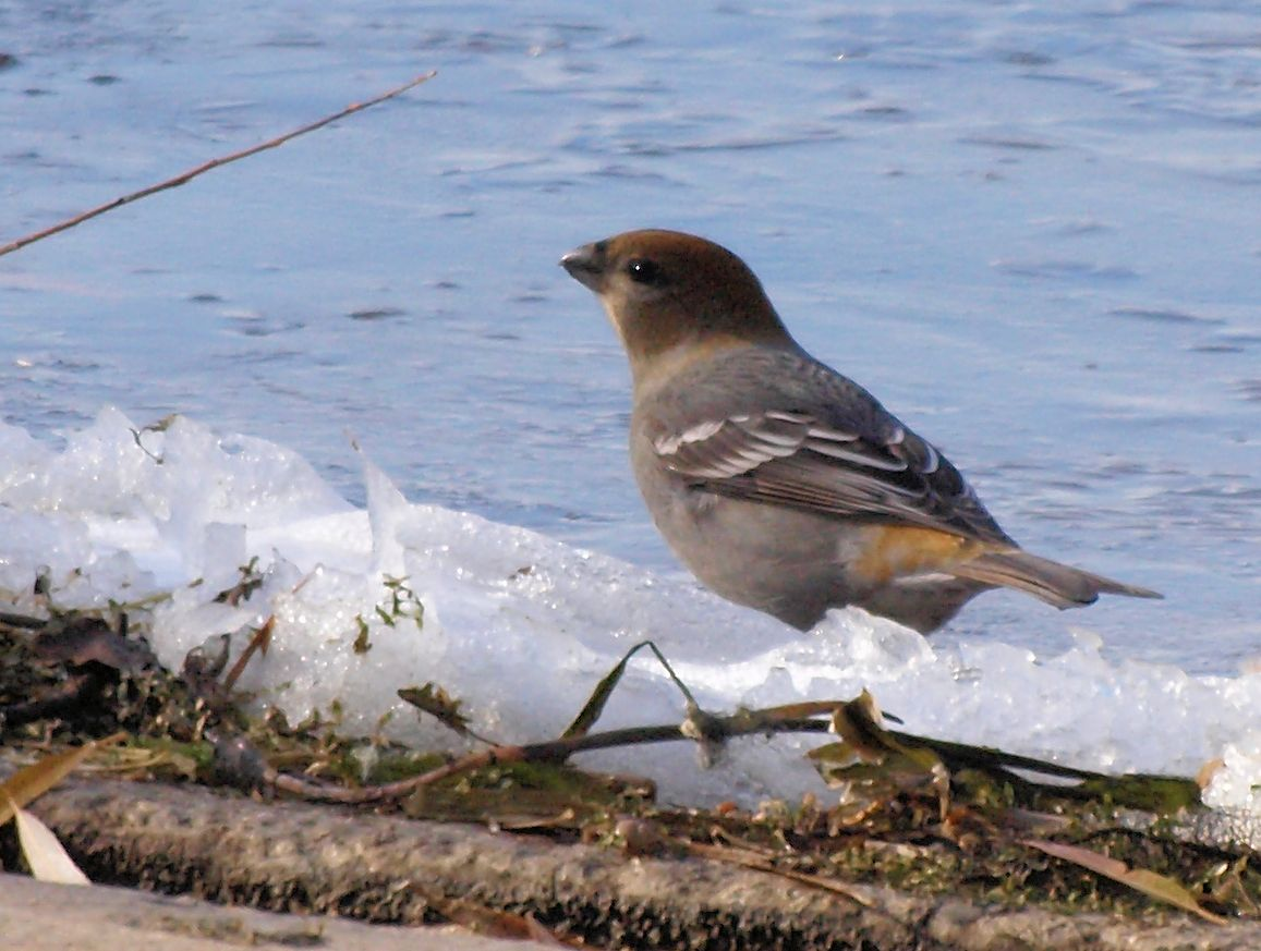 Pine Grosbeak 11/14/2012