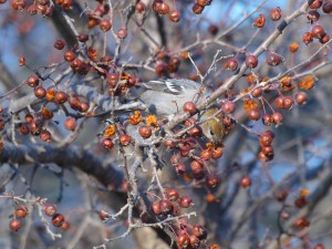 Pine Grosbeak 12/1/2012