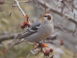 Pine Grosbeak 12/2/2012