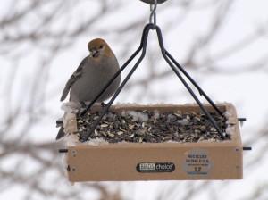 Pine Grosbeak 12/17/2012