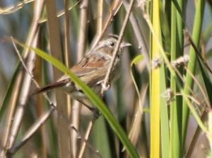 Swamp Sparrow 9/19/12