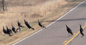 Wild Turkeys 11/16/2012